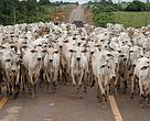Rebanho bovino do Amazonas está concentrado principalmente no Sul do Estado