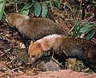 Cachorro-do-mato-vinagre pode ser encontrado no Cerrado, Mata Atlântica e Amazônia
