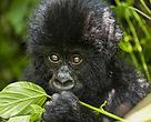 Bebê gorila, Parque Nacional Virunga, Bukina, República Democrática do Congo