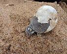 Nascimento da tartaruga no Tabuleiro do Embaubal