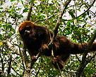 Bugio (Alouatta guariba) encontrado em florestas de Mata Atlântica manejadas pela TANAC