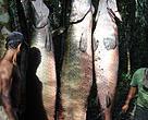Pirarucu pescado nos lagos do município de Feijó, no Acre