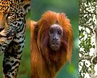 WWF-Brasil promotes the conservation of three flagship species from the Atlantic Forest that are threatened with extinction: the golden lion tamarin (Leontopithecus rosalia), southern muriqui (Brachyteles arachnoides) and jaguar (Panthera onça).