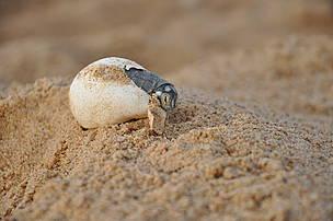Filhote de tartaruga-da-Amazônia sai do ovo no Tabuleiro do Embaubal, Pará, Brasil.