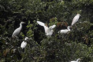Garças no rio Madeirinha, durante a Expedição Guariba-Rooselvelt 2010.