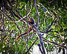Primata ainda não descrito pela Ciência, pertencente ao gênero Callicebus e vulgarmente conhecido como zogue-zogue, coletado durante expedição Guariba-Roosevelt 2010.