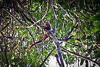 Primata ainda não descrito pela Ciência, pertencente ao gênero Callicebus e vulgarmente conhecido ... / ©: Julio Dalponte