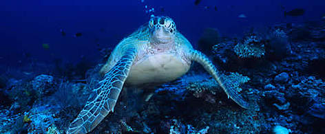 Sea turtle under water / ©: WWF -Canon