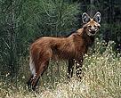 Lobo-guará (Chrysocyon brachyurus)