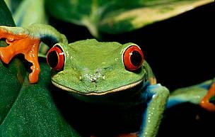 olhar de sapo / ©: WWF