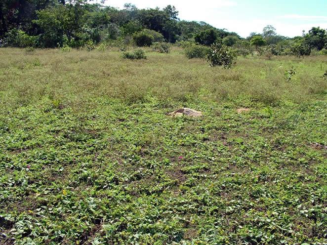 Campo limpo invadido por malva-branca (Walteria albicans) na região da Nhecolândia (MS).