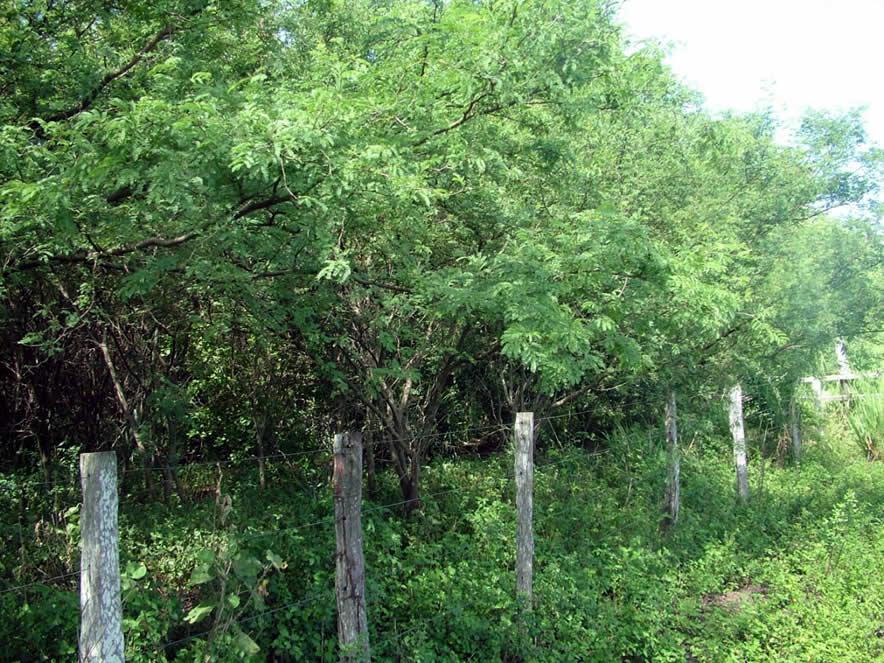 Área invadida por aromita (Acacia farnesiana) em Miranda (MS).