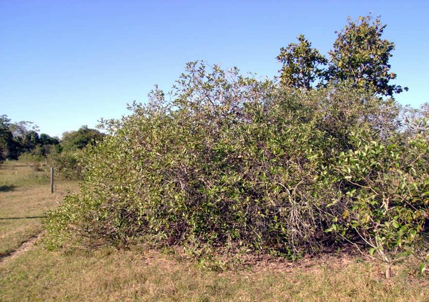 Campo invadido por canjiqueira (Byrsonima orbignyana) na região da Nhecolândia (MS).