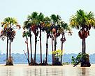 Palma real, Lago Rogaguado