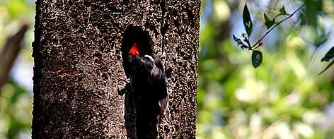 Pássaro pousado no tronco de uma árvore / ©: Alex SILVEIRA