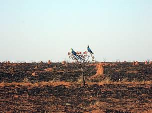 Araras-canindé (Ara ararauna) em região devastada pelo fogo no parque nacional das Emas (GO), no Cerrado.