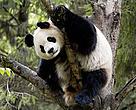 Panda gigante em árvore, na Reserva Natural de Wolong, na China.