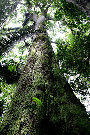 Brazil nut trees commonly grow to a heights of over 30 metres with trunks of 1 to 2 metres in diameter (One of the tallest trees in the Amazon).