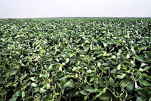Folhas de soja (Glycine max) em uma grande plantação na região de Rondonópolis, Mato Grosso. / ©: Adriano Gambarini / WWF-Brasil