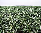 Folhas de soja (Glycine max) em uma grande plantação na região de Rondonópolis, Mato Grosso.