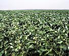No primeiro decênio do acordo – quando a área plantada de soja no Brasil aumentou aproximadamente 50% - o desmatamento provocado diretamente pela commodity no bioma amazônico foi menos de 1% do total registrado.