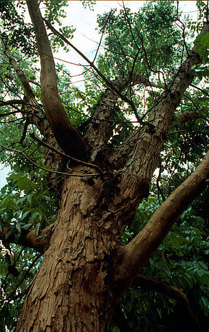 Mogno-brasileiro (Swietenia macrophylla), Amazonas, Brasil. / ©: Paul Forster / WWF-Canon