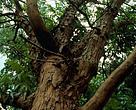 Mogno-brasileiro (Swietenia macrophylla), Amazonas, Brasil.