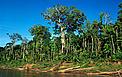 Swietenia macrophylla, o Mogno, ao lado do Rio Manu, no Parque Nacional Manu, Peru. / ©: André Bärtschi / WWF