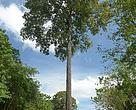 A castanheira (Bertholletia excelsa) é uma árvore que se encontra por toda a Amazônia; hoje, porém, por conta do desmatamento, ela só é abundante na Bolívia e no Suriname