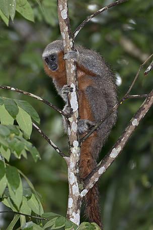 O descobrimento de uma nova espécie de primata reforça a importância de conhecer e conservar a Amazônia