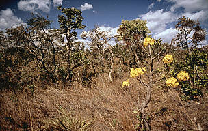More open Cerrado habitat, showing flowering Ipe tree in the Pirenopolis area, Cerrado, Brazil.